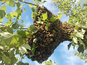 Will Pratt - Chestermere Swarm