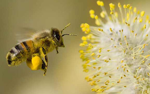 Bee Polinating